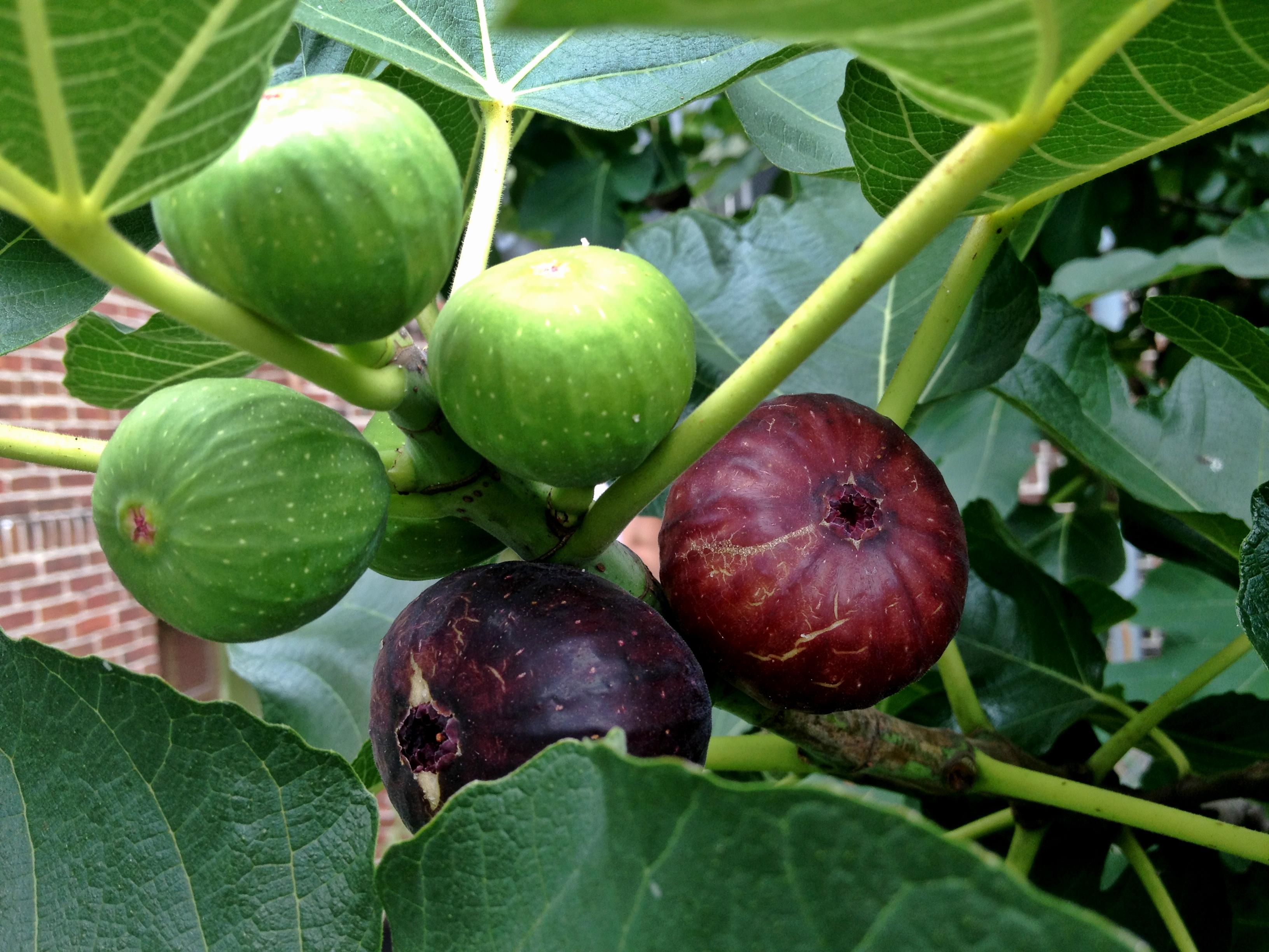 Figs The Drunken Fig