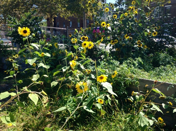 South Jamaica Sunflowers